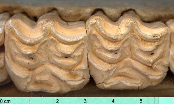 mit langen zähnen essen